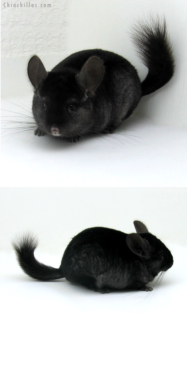 12108 Herd Improvement Quality Ebony ( Sapphire Carrier ) Male Chinchilla