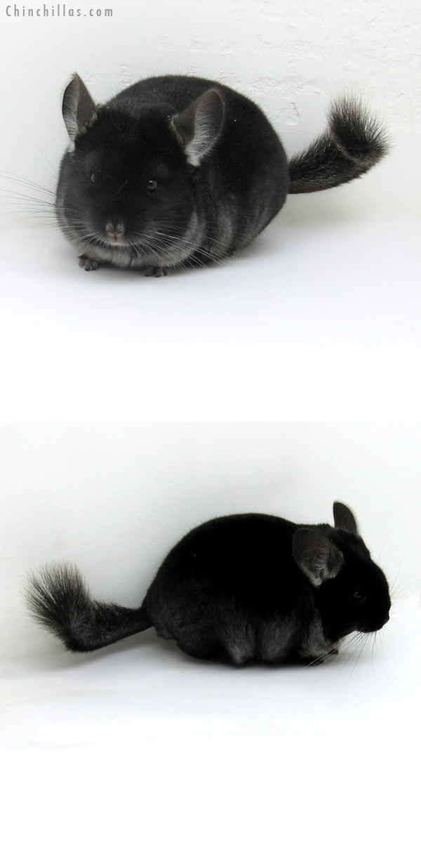 12109 Herd Improvement Quality TOV Ebony Male Chinchilla