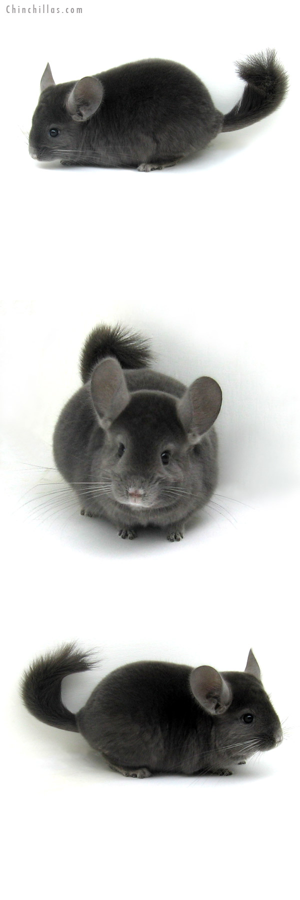 12114 Premium Production Quality Wrap Around Violet Female Chinchilla