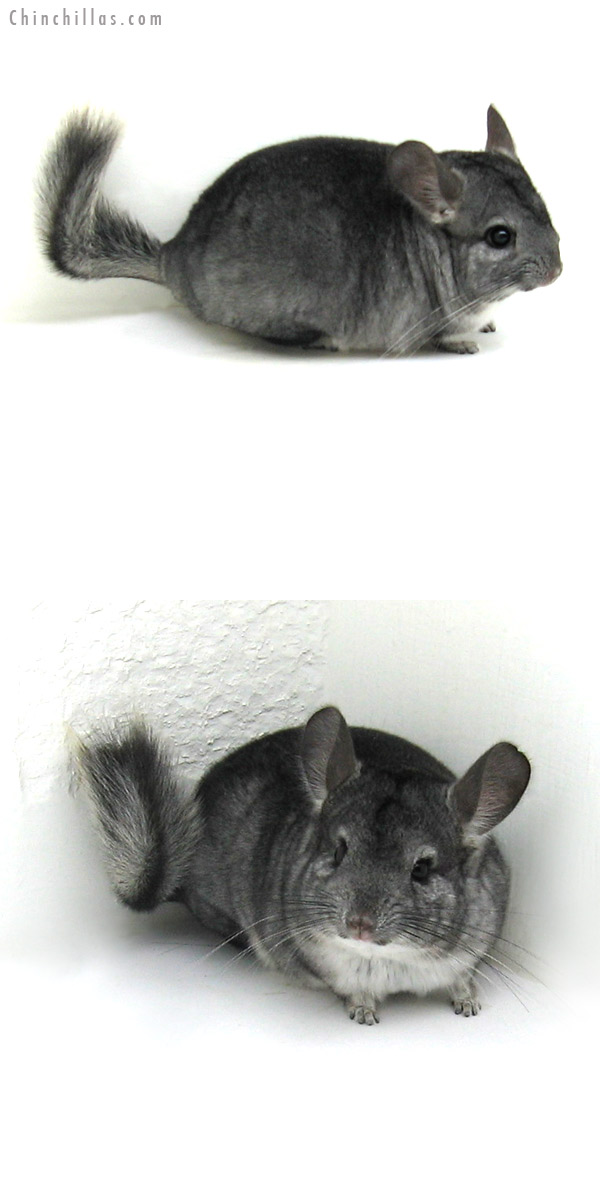 12119 Standard ( Goldbar Carrier ) Female Chinchilla