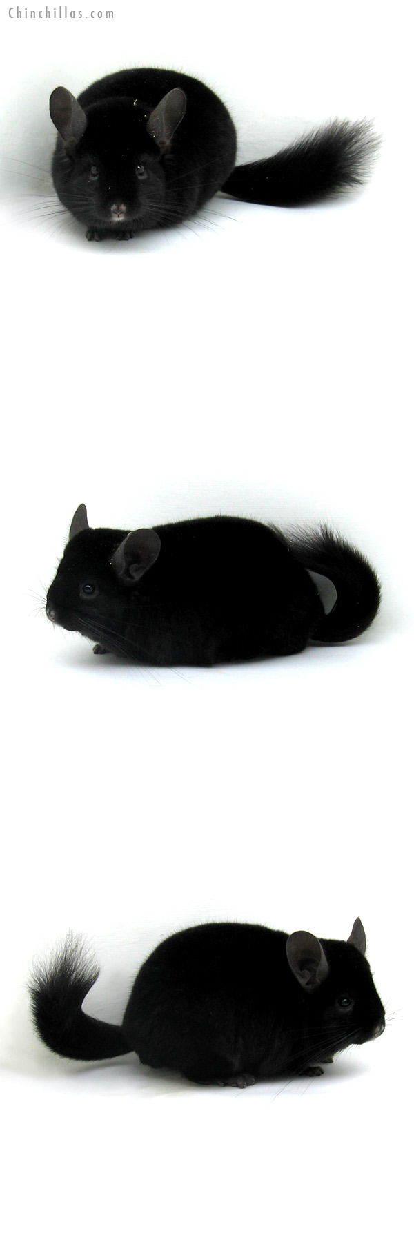 12120 Blocky Herd Improvement Quality Ebony Male Chinchilla