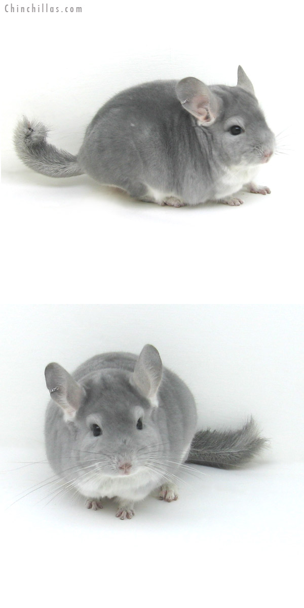 12125 Blue Diamond Male Chinchilla