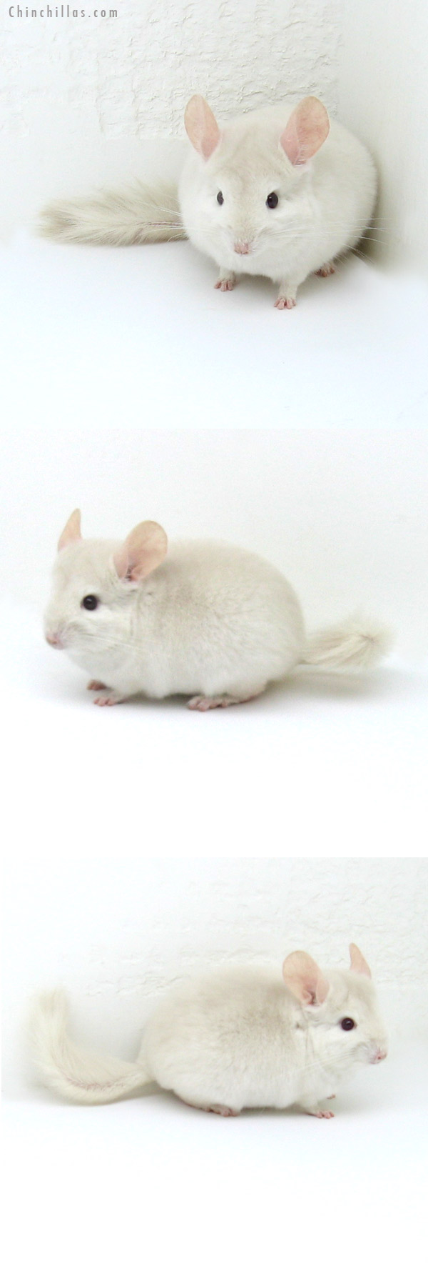12126 Goldbar Male Chinchilla
