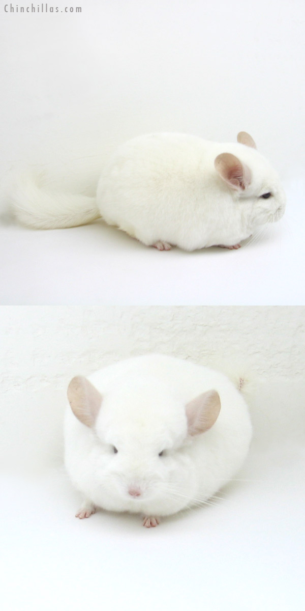 12128 Large, Blocky Premium Production Quality Pink White Female Chinchilla