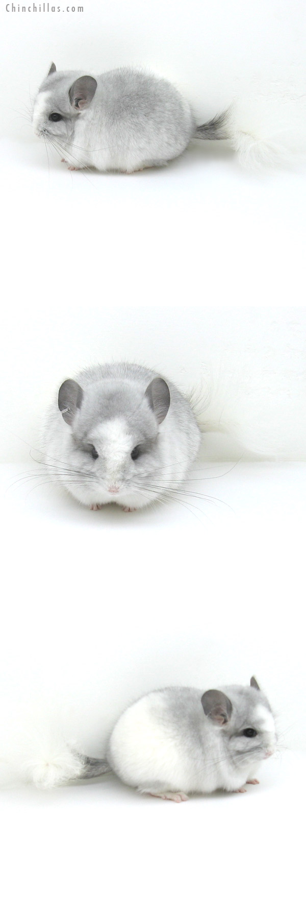 12142 Exceptional Silver Mosaic Royal Persian Angora Male Chinchilla