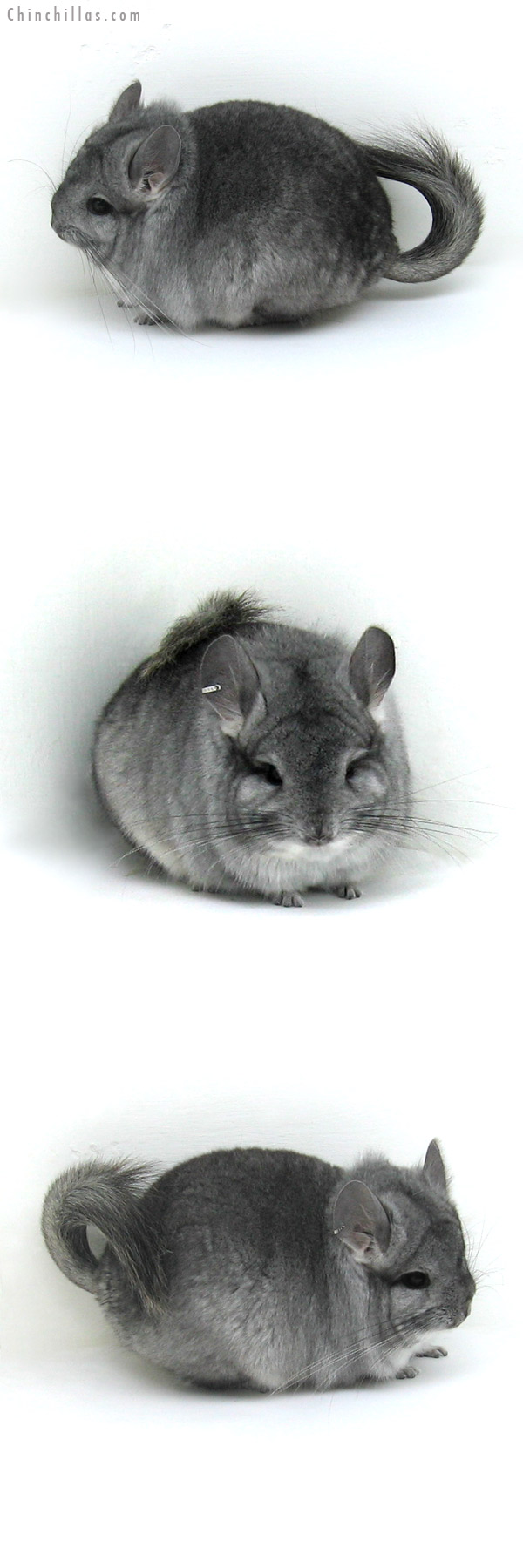 12138 Standard Royal Persian Angora Male Chinchilla