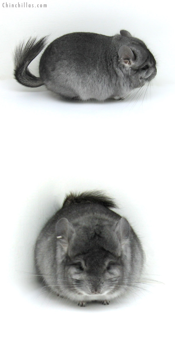 12143 Blocky Standard Royal Persian Angora Male Chinchilla