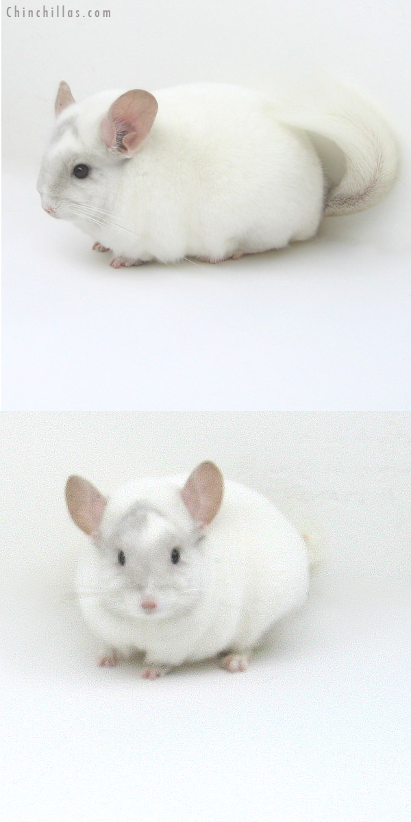 12140 Blocky Premium Production Quality Pink White K887 Daughter Chinchilla