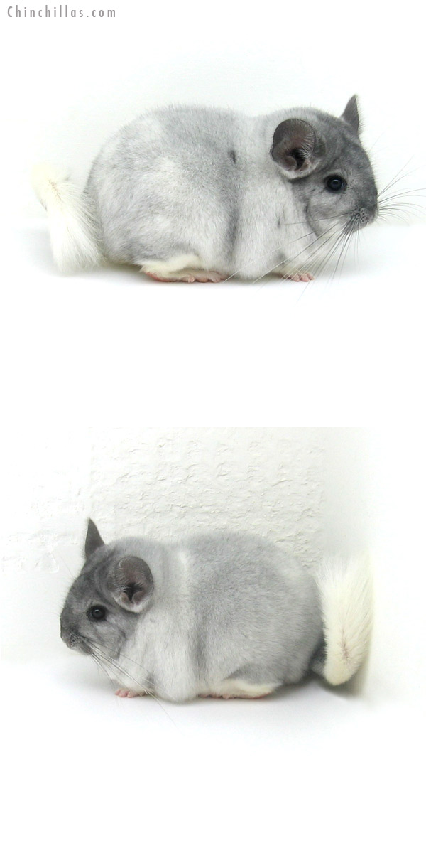 12145 Large Premium Production Quality Silver Mosaic Female Chinchilla