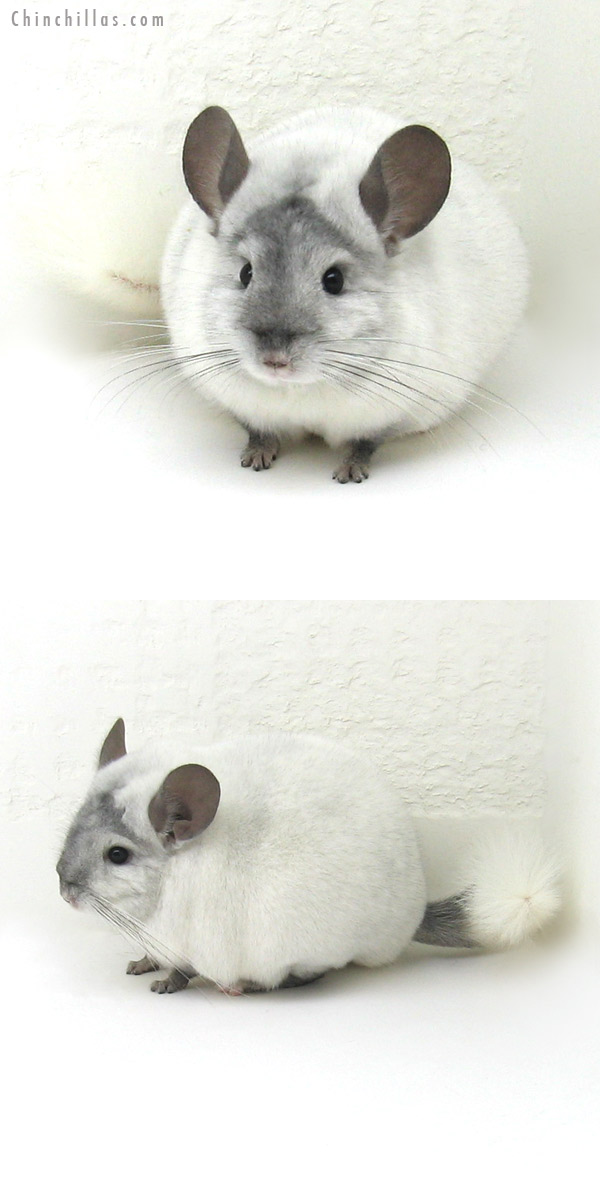 12151 Herd Improvement Quality Ebony and White Mosaic Male Chinchilla