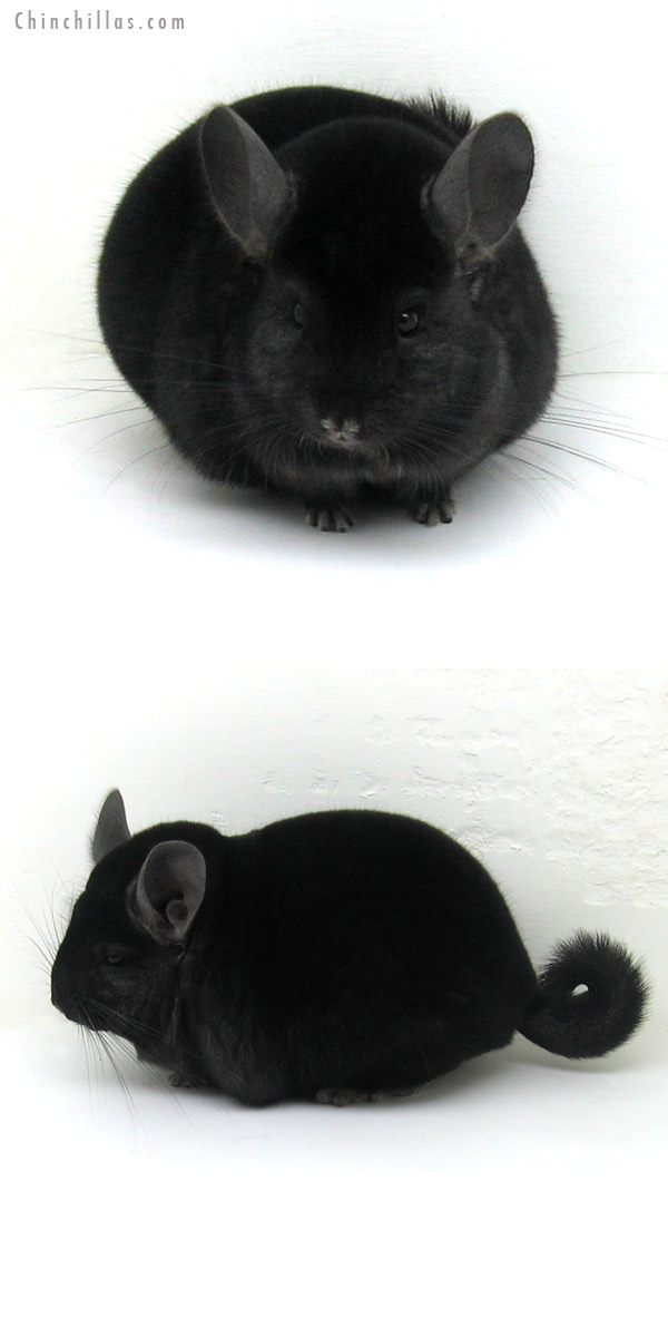 12160 Large Herd Improvement Quality Ebony Male Chinchilla