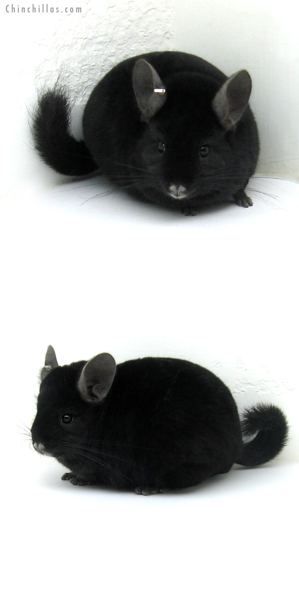 12158 Large Herd Improvement Quality Ebony Male Chinchilla