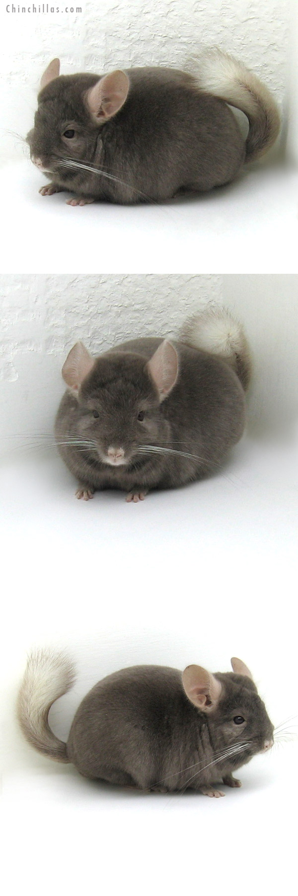 12159 Herd Improvement Quality Tan Male Chinchilla