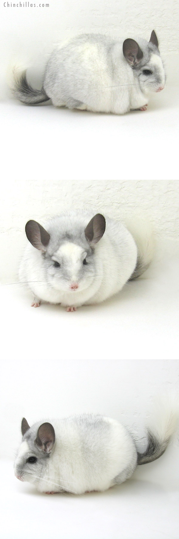 12169 Blocky, XXXL Show Quality White Mosaic Male Chinchilla
