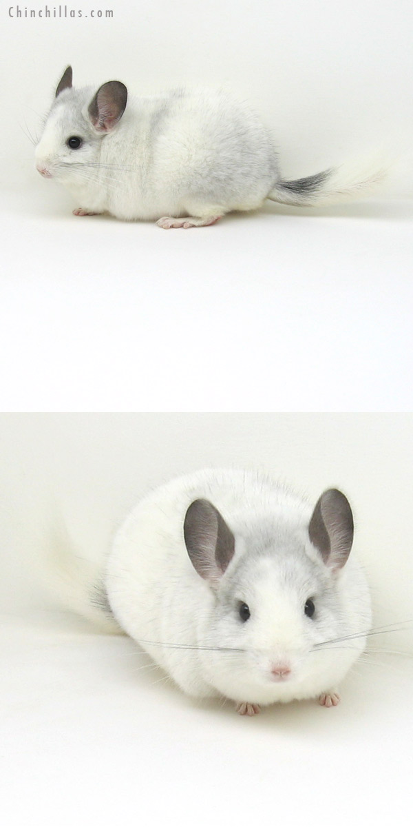 12173 Blocky Herd Improvement Quality White Mosaic K887 Grandson Chinchilla