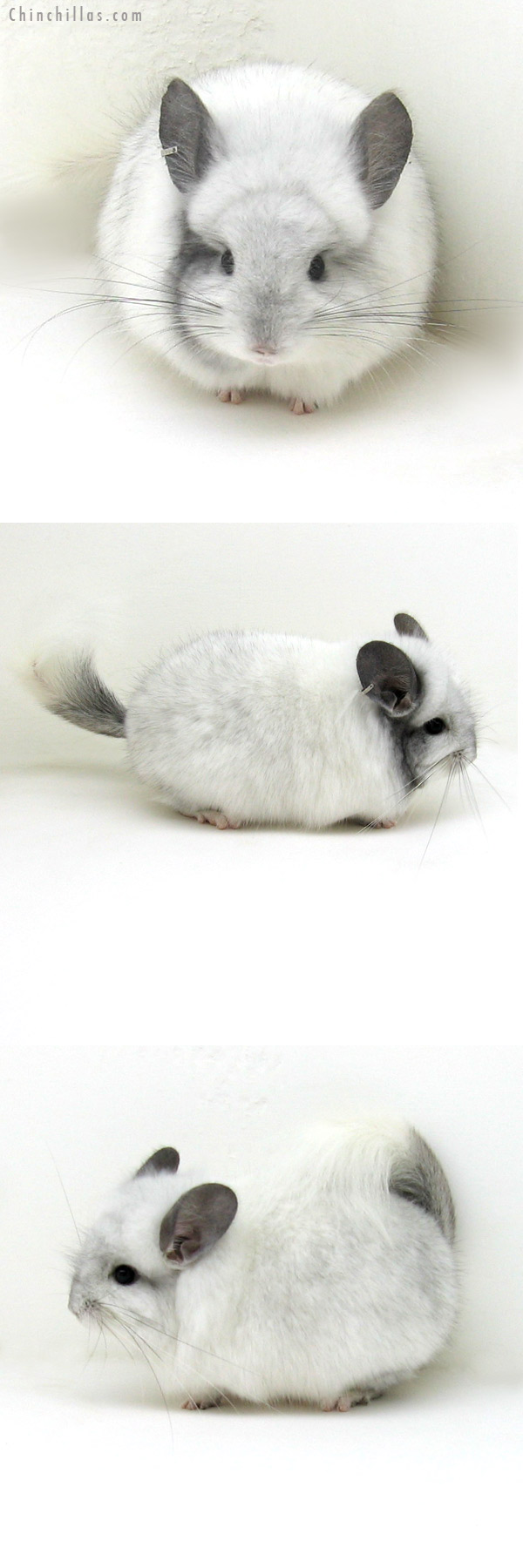 12167 Unique White Mosaic Royal Persian Angora Male Chinchilla