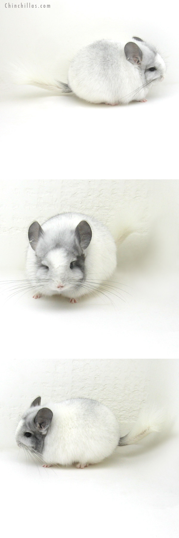 12176 White Mosaic Royal Persian Angora Female Chinchilla