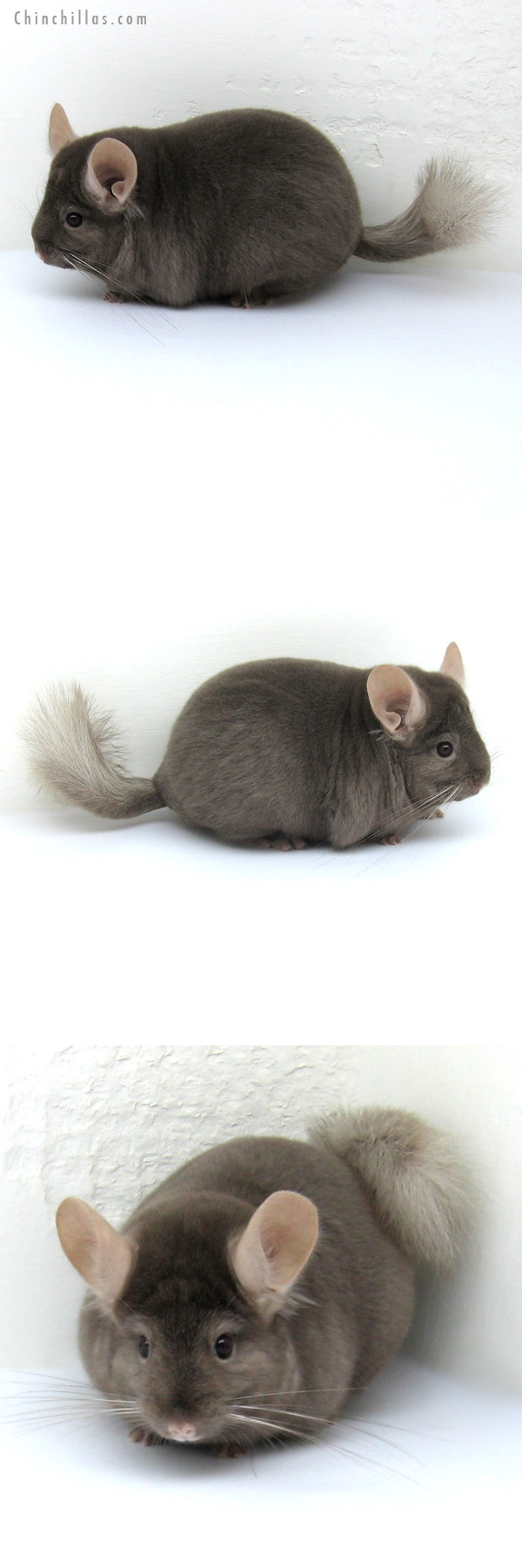 12185 Blocky Premium Production Quality Tan Female Chinchilla