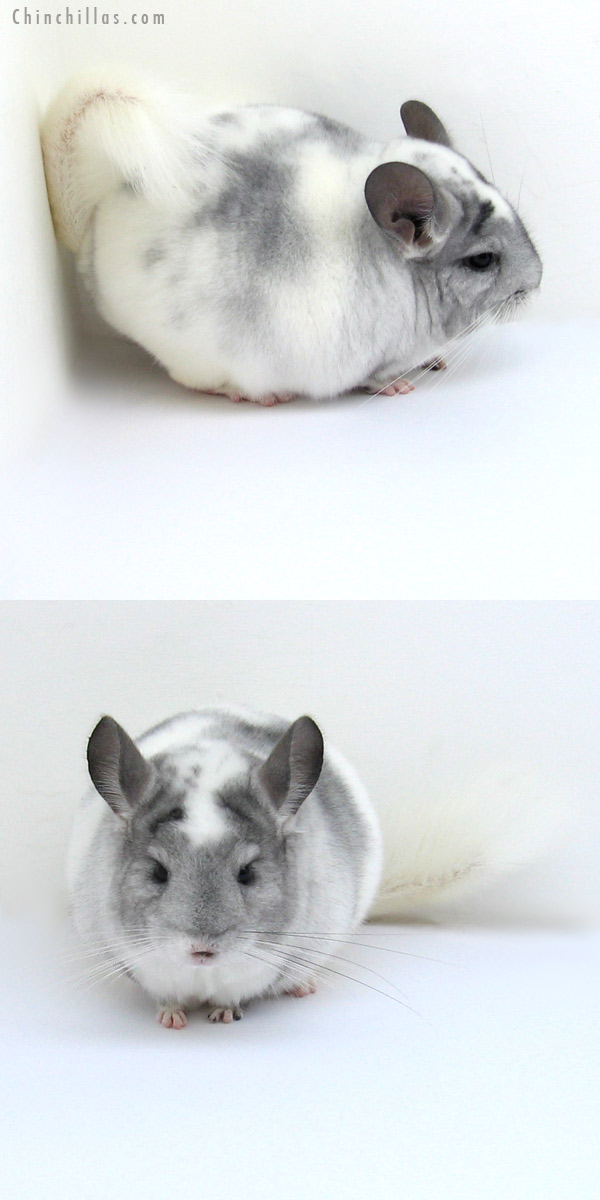 12179 Herd Improvement Quality Splotchy Mosaic ( Violet Carrier ) Male Chinchilla