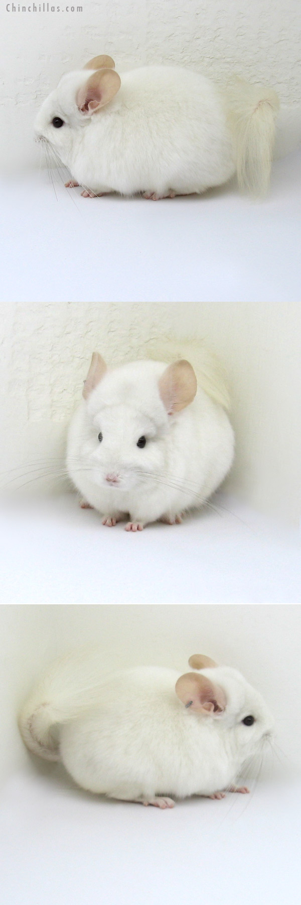12182 Rare Pink White Royal Persian Angora Male Chinchilla