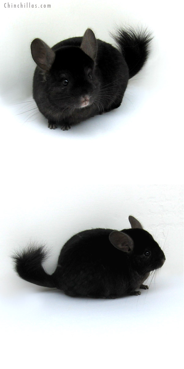 12189 Ebony ( Locken Carrier ) Male Chinchilla
