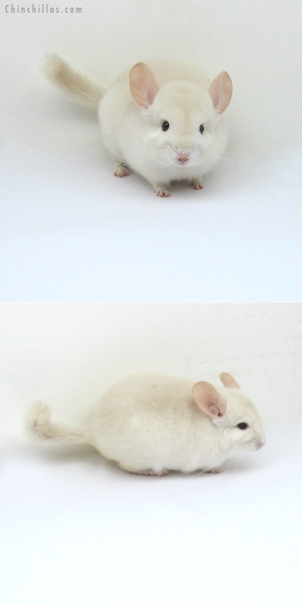 12190 Goldbar Male Chinchilla