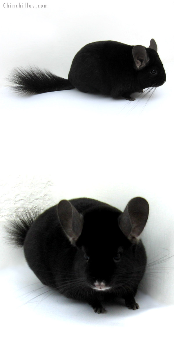 12193 Premium Production Quality Ebony Female Chinchilla