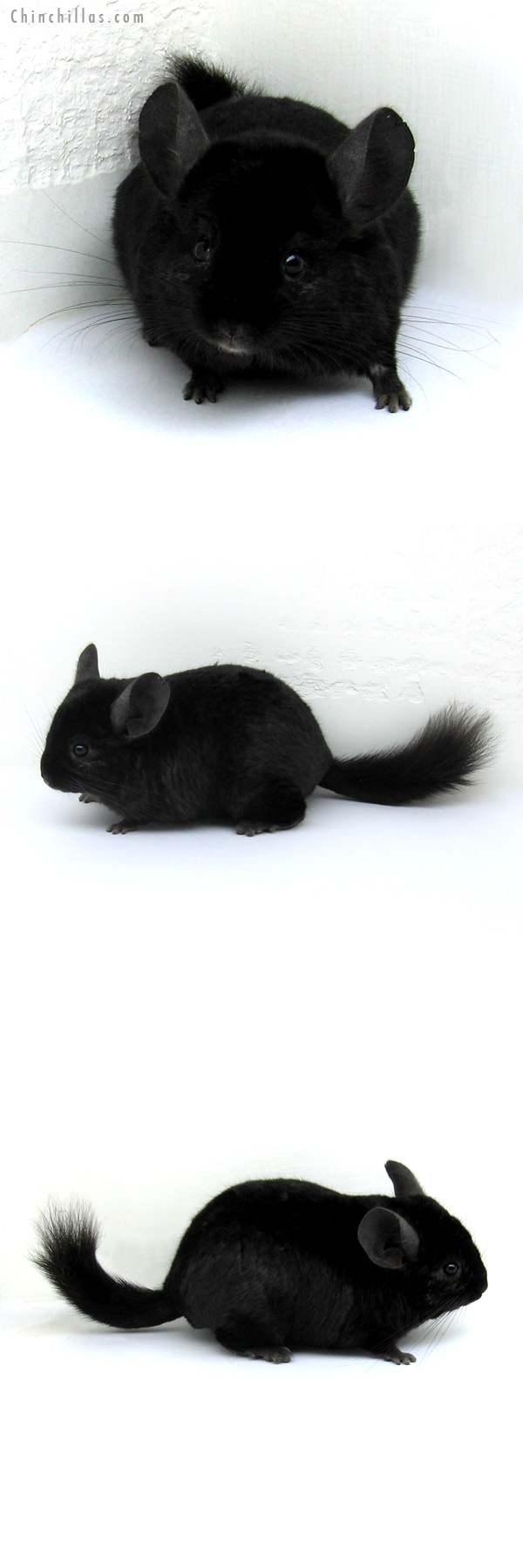 12197 Ebony ( Locken Carrier ) Male Chinchilla