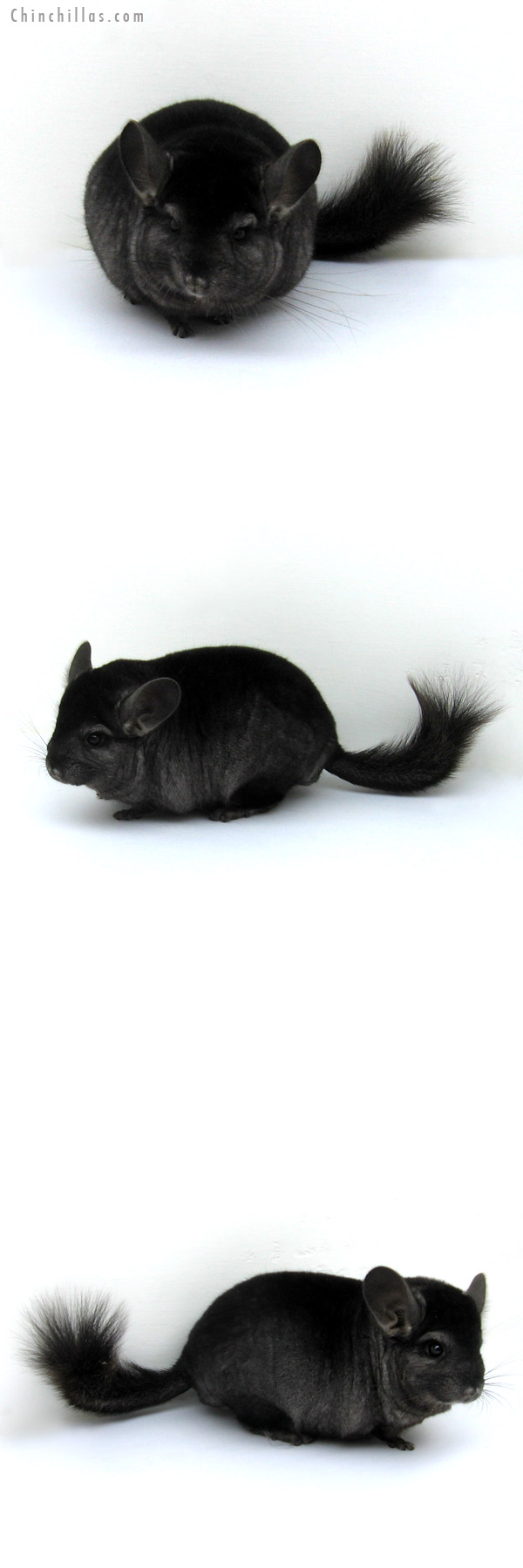 12202 Show Quality Ebony ( Sapphire Carrier ) Male Chinchilla