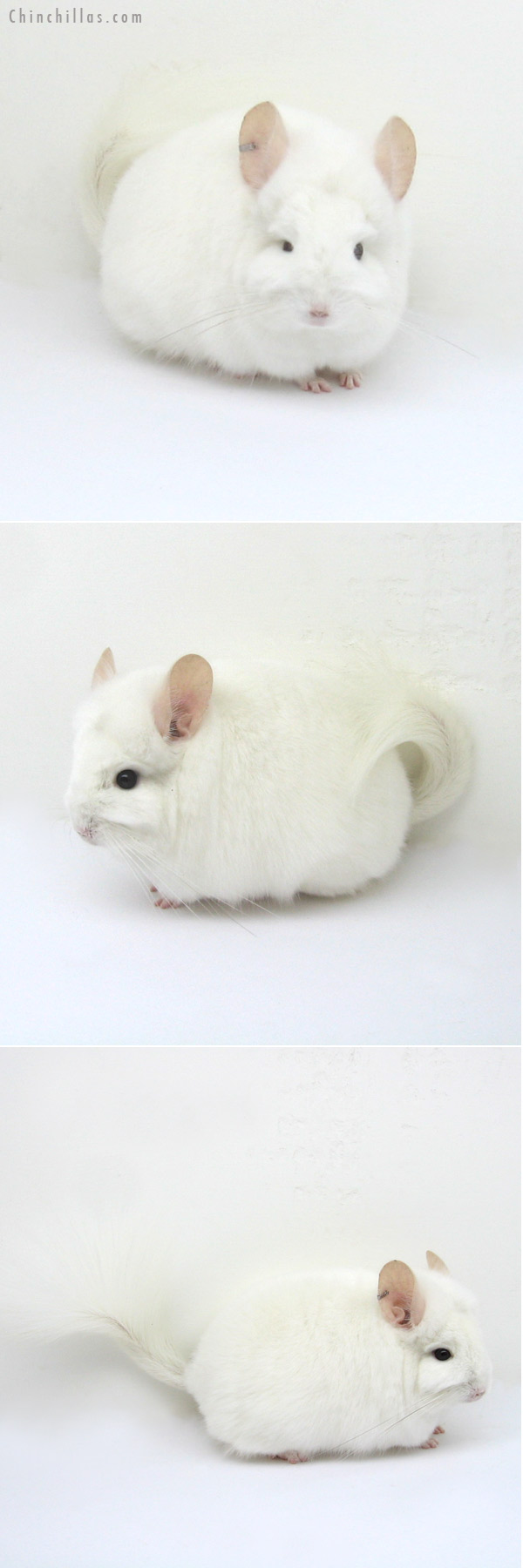 12204 Rare Pink White Royal Persian Angora Female Chinchilla