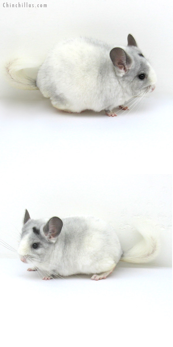 12192 Premium Production Quality Violet & White Mosaic Female Chinchilla