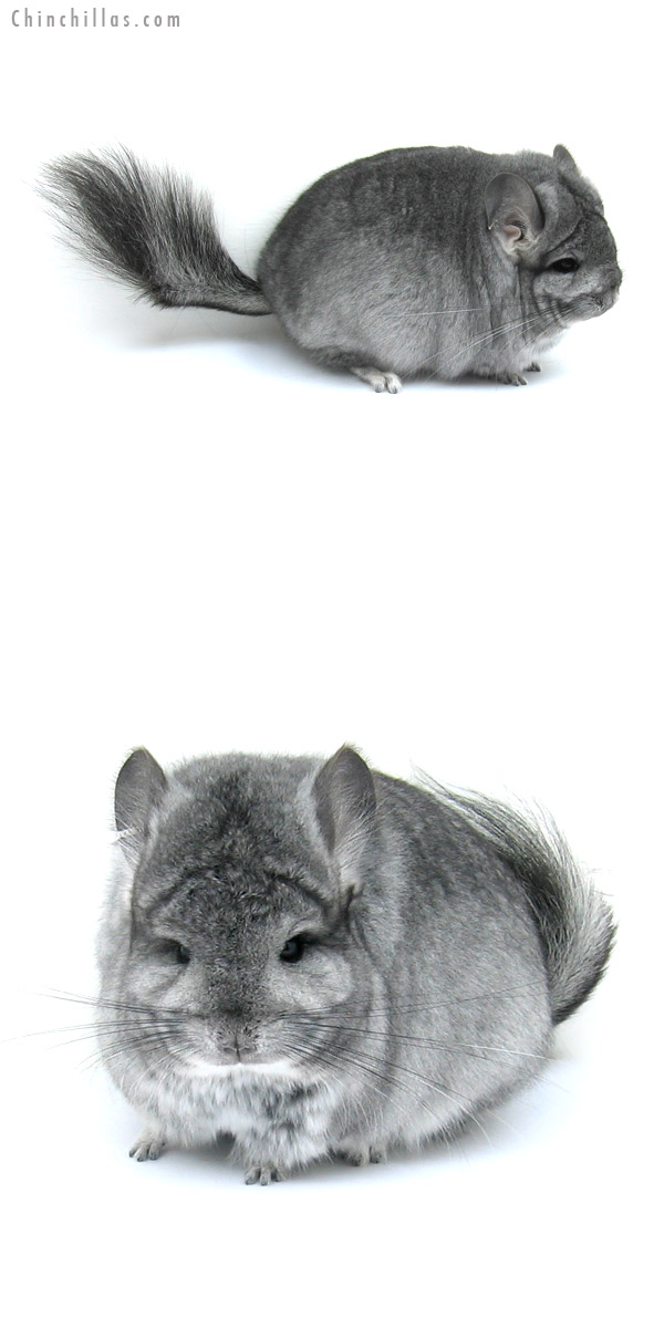 12206 Blocky, Exceptional Standard Royal Persian Angora Female Chinchilla