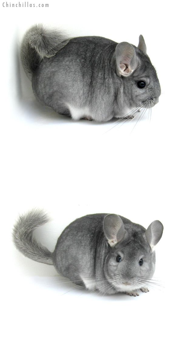12208 Premium Production Quality Sapphire Female Chinchilla