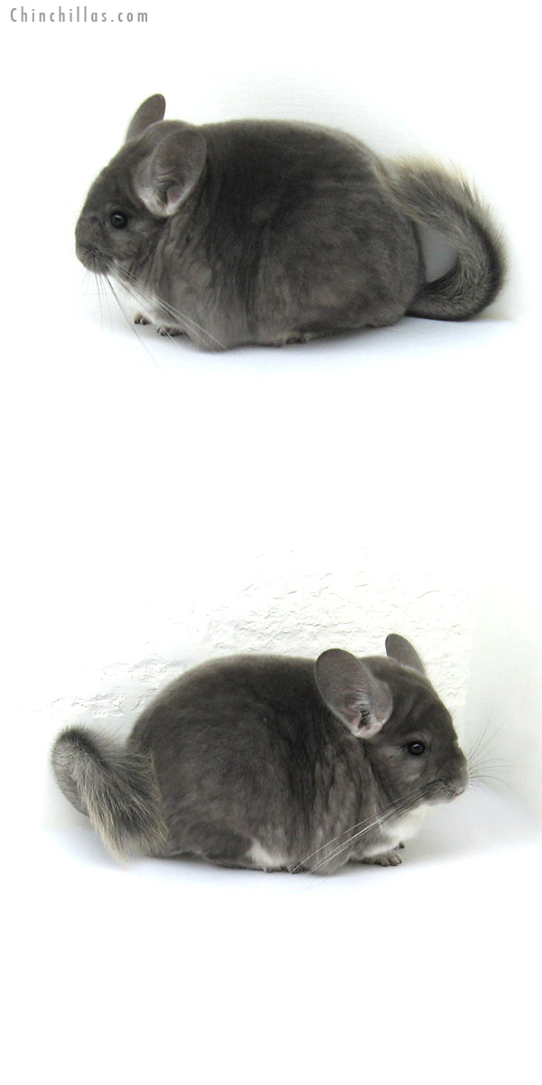 12216 Large, Blocky Premium Production Quality Violet Female Chinchilla