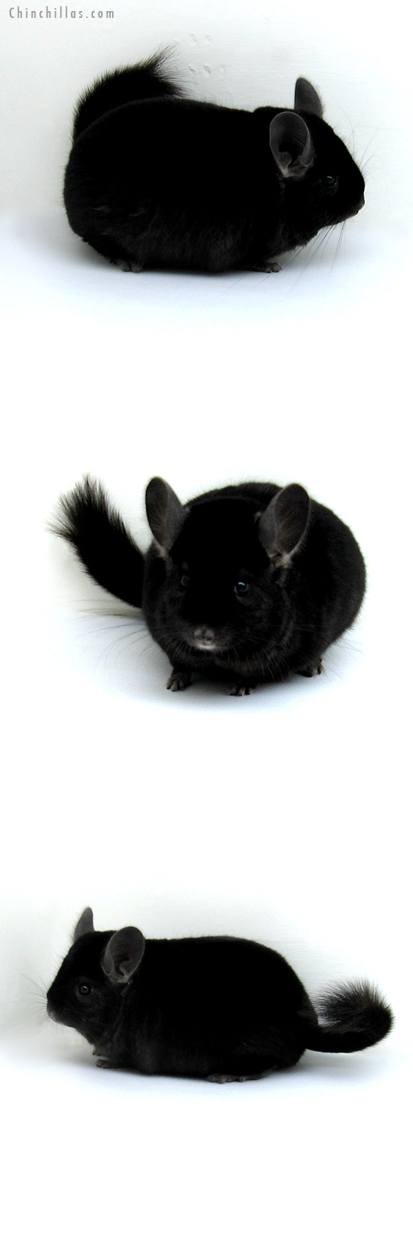 12213 Large Herd Improvement Quality Ebony Male Chinchilla