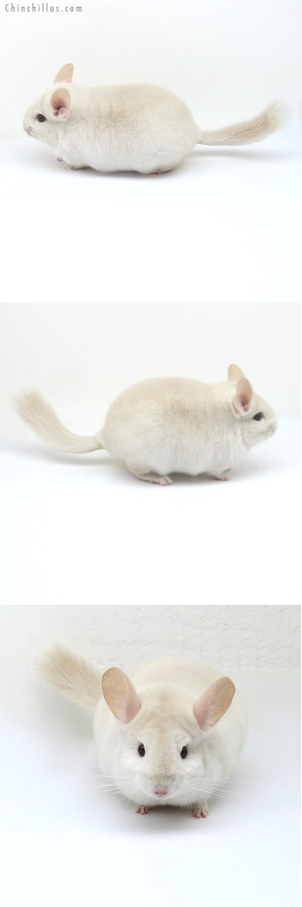 12211 Blocky Goldbar Female Chinchilla