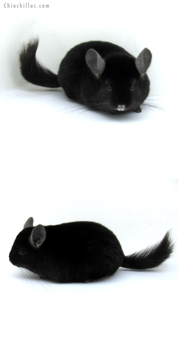 12221 Herd Improvement Quality Ebony Male Chinchilla