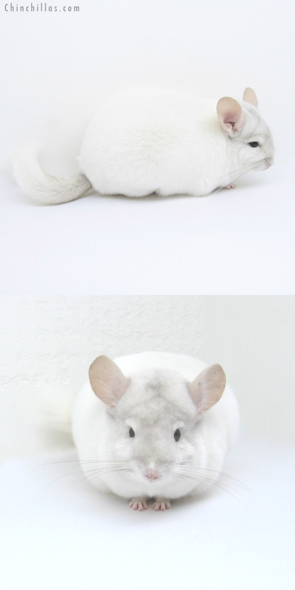 12219 Premium Production Quality Pink White Female Chinchilla