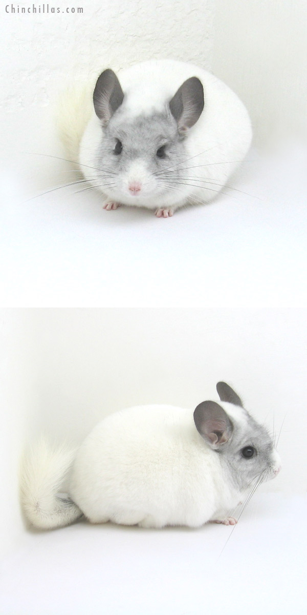 12222 Herd Improvement Quality White Mosaic Male Chinchilla