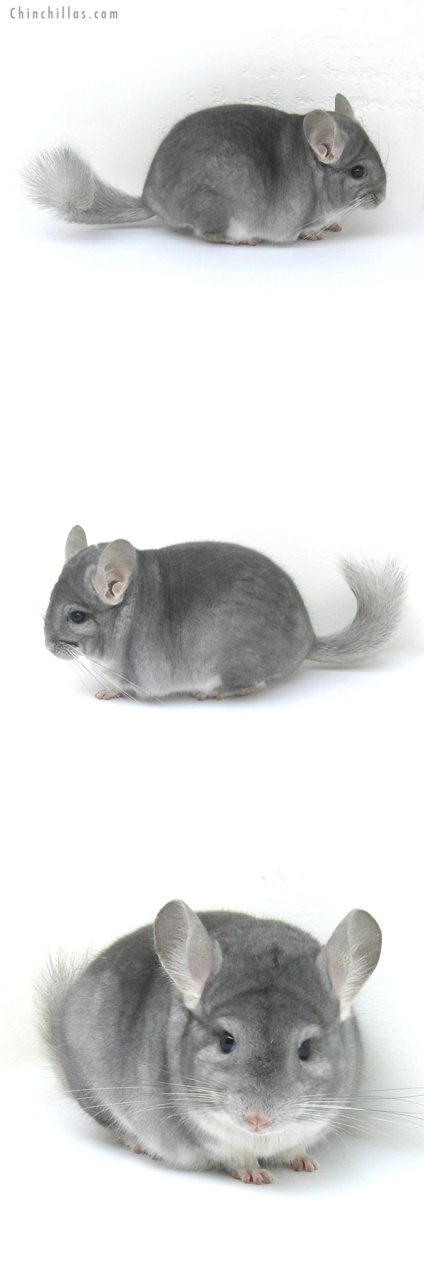 12224 Top Show Quality Sapphire Male Chinchilla