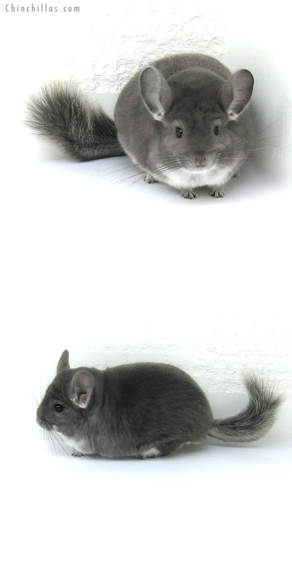 12234 Herd Improvement Quality Violet Male Chinchilla
