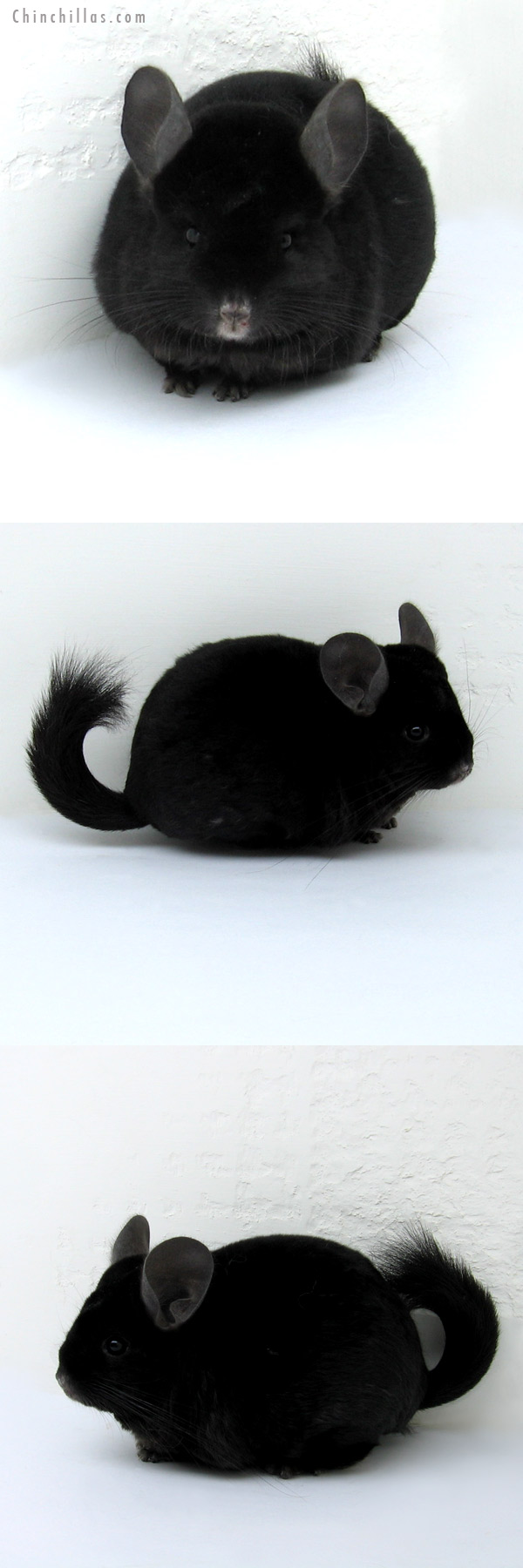 12226 Ebony ( Locken Carrier ) Female Chinchilla