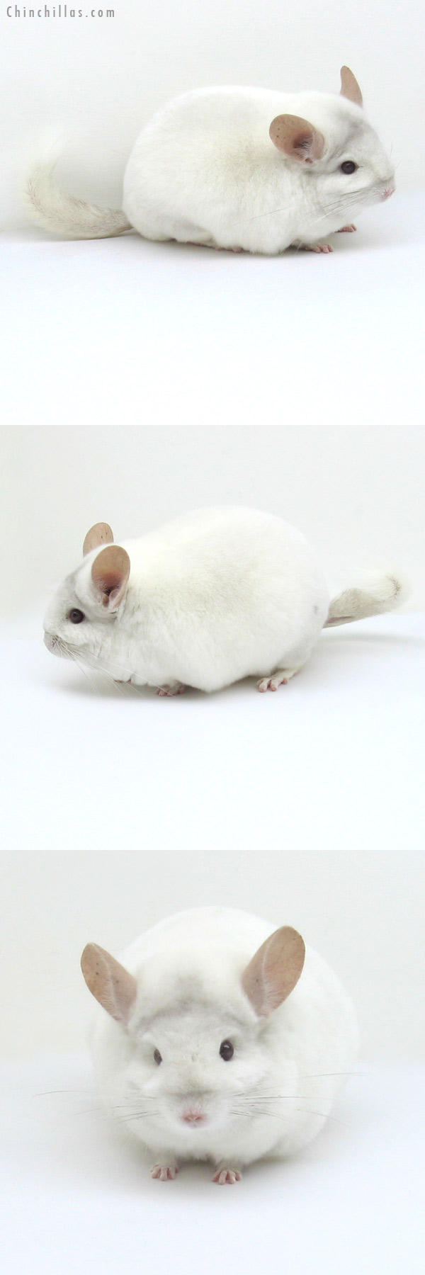 12237 Blocky, Premium Production Quality Pink White Female Chinchilla