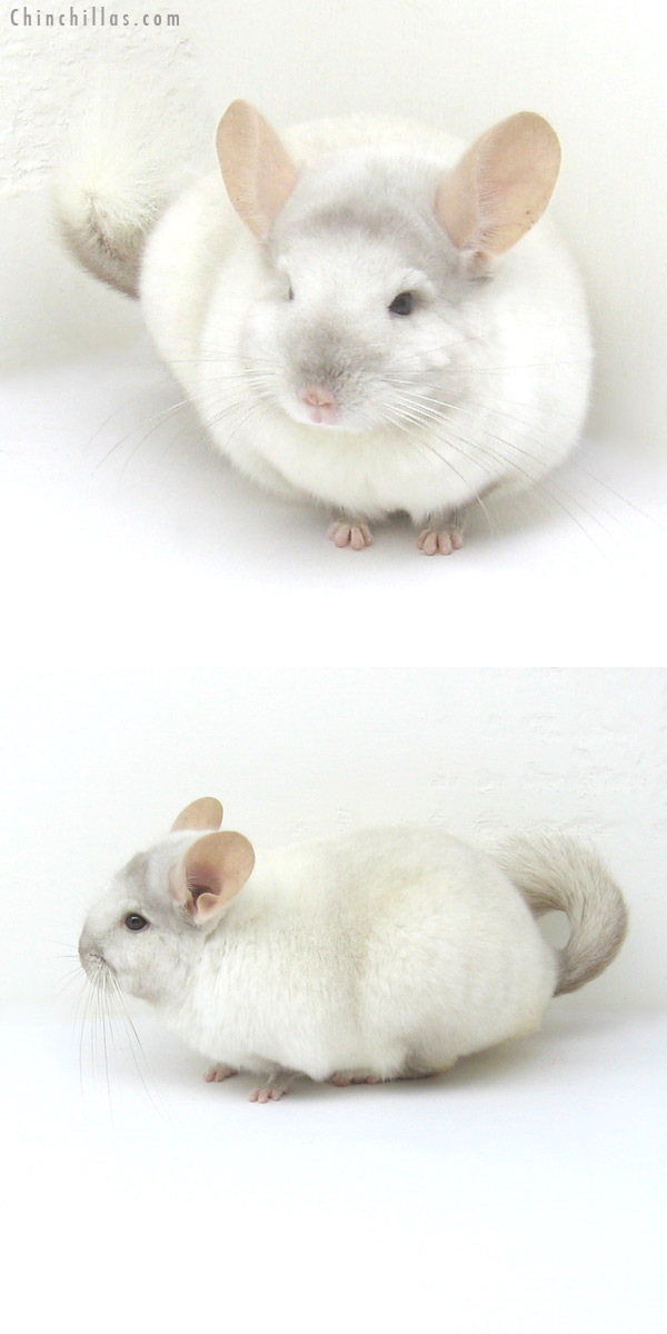 12245 Show Quality Pink White ( Ebony Carrier ) Male Chinchilla