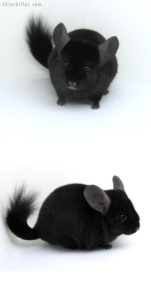 12254 Ebony ( Locken Carrier ) Female Chinchilla