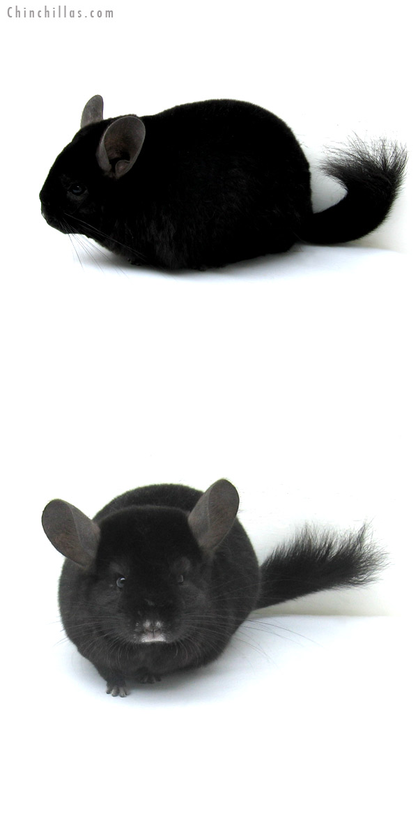 12255 Ebony ( Locken Carrier ) Female Chinchilla