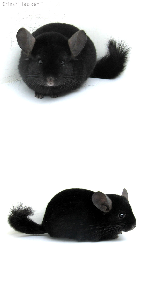 12256 Ebony ( Locken Carrier ) Male Chinchilla