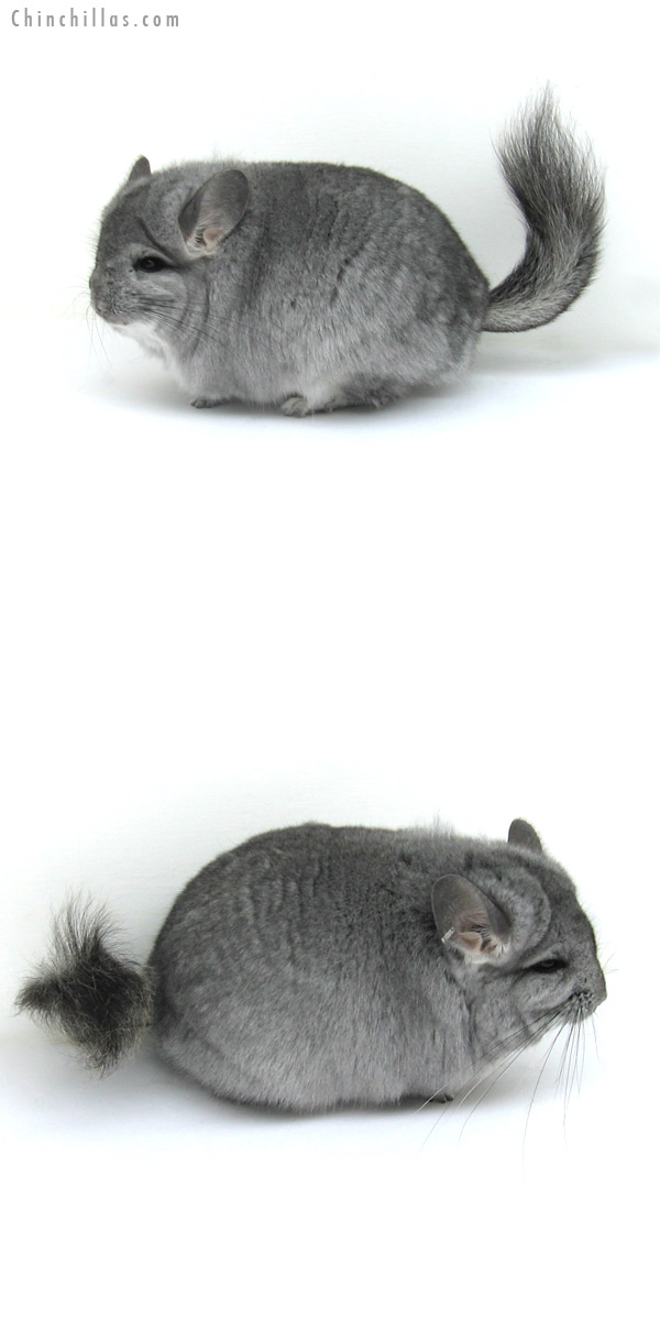 12266 Blocky, Standard Royal Persian Angora Female Chinchilla