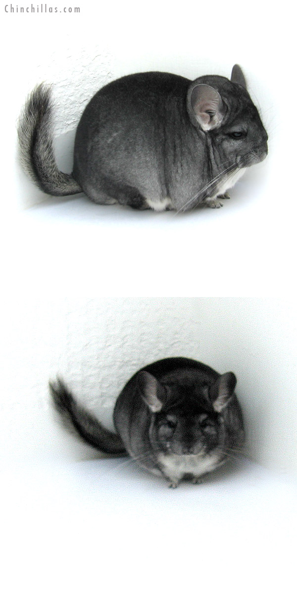 12264 Extra Large Premium Production Quality Standard Female Chinchilla
