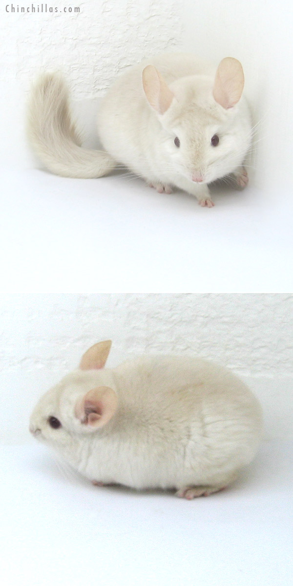 12270 Goldbar Female Chinchilla